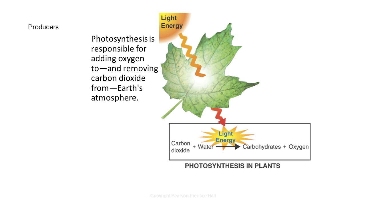 Copyright Pearson Prentice Hall Producers Photosynthesis is responsible for adding oxygen to—and removing carbon dioxide from—Earth s atmosphere.