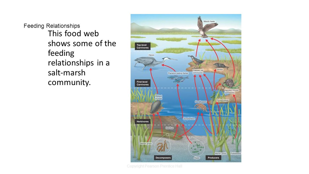 Copyright Pearson Prentice Hall Feeding Relationships This food web shows some of the feeding relationships in a salt-marsh community.