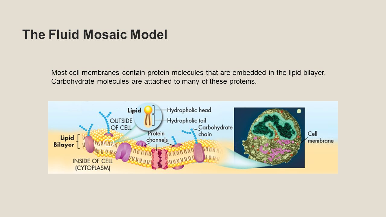 Biology unit 6 cell theory the cell theory states all living the fluid mosaic model most cell membranes contain protein molecules that are embedded in the lipid pooptronica