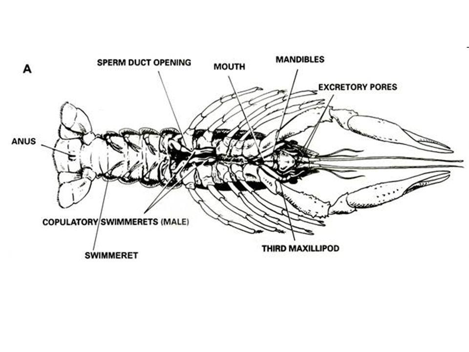 Crayfish respiratory system