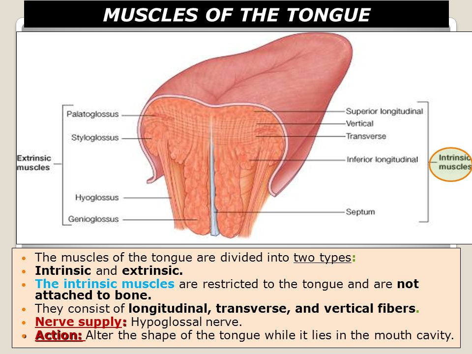 Resultado de imagen para muscles of the tongue