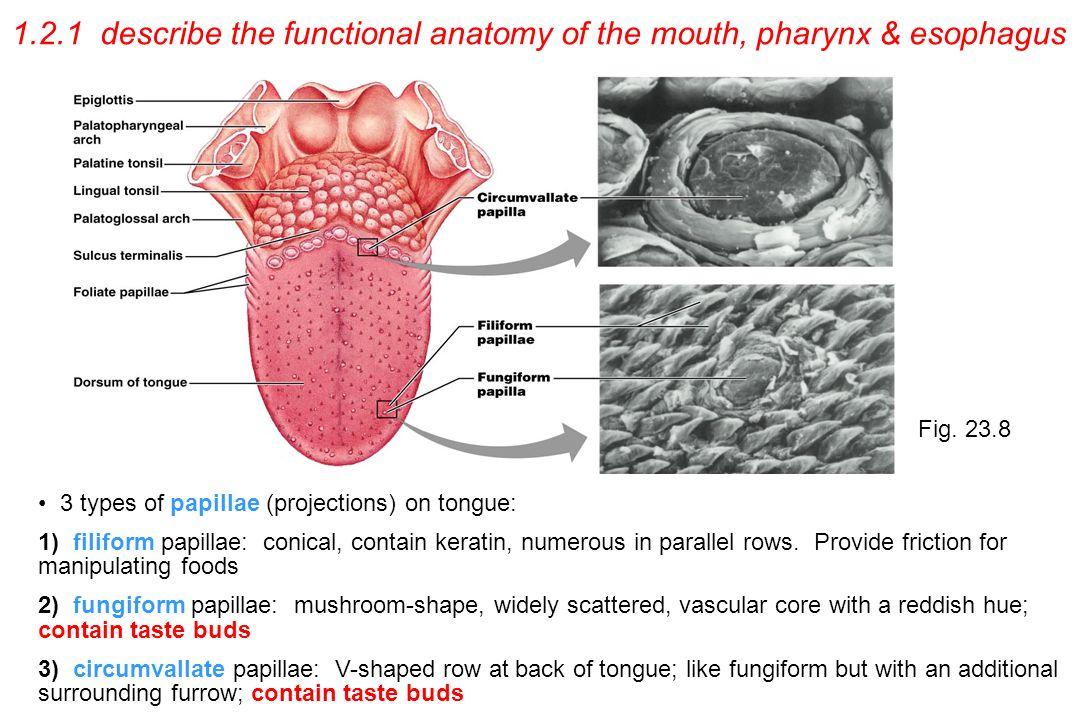 Niedlich Fungiform Papillen Funktion Ideen Menschliche Anatomie