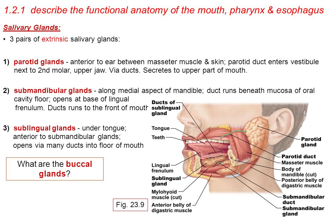 Modern Mouth Anatomy Frenulum Images - Anatomy And Physiology ...