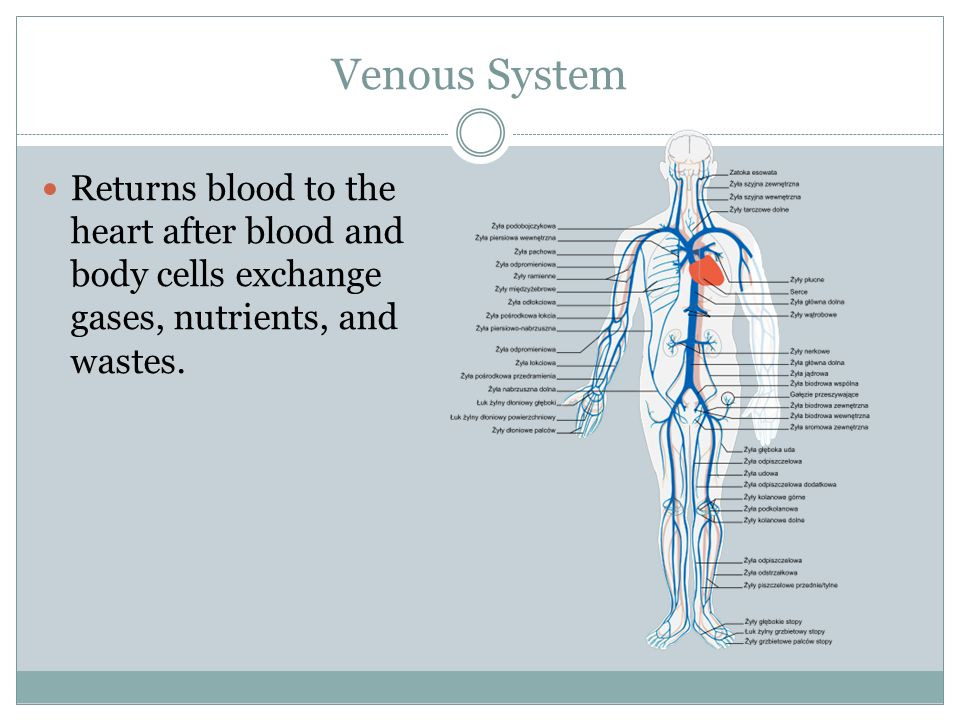 Venous System Returns blood to the heart after blood and body cells exchange gases, nutrients, and wastes.