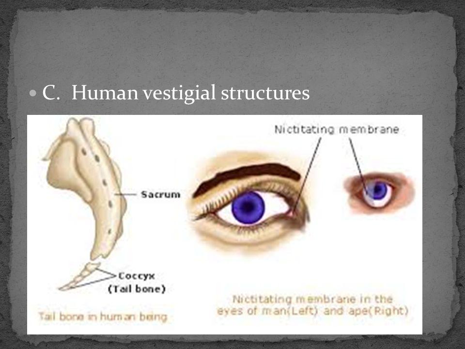 C. Human vestigial structures