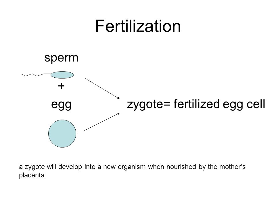 Fertilization sperm + eggzygote= fertilized egg cell a zygote will develop into a new organism when nourished by the mother's placenta