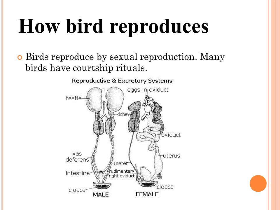 Sexual Reproduction In Birds