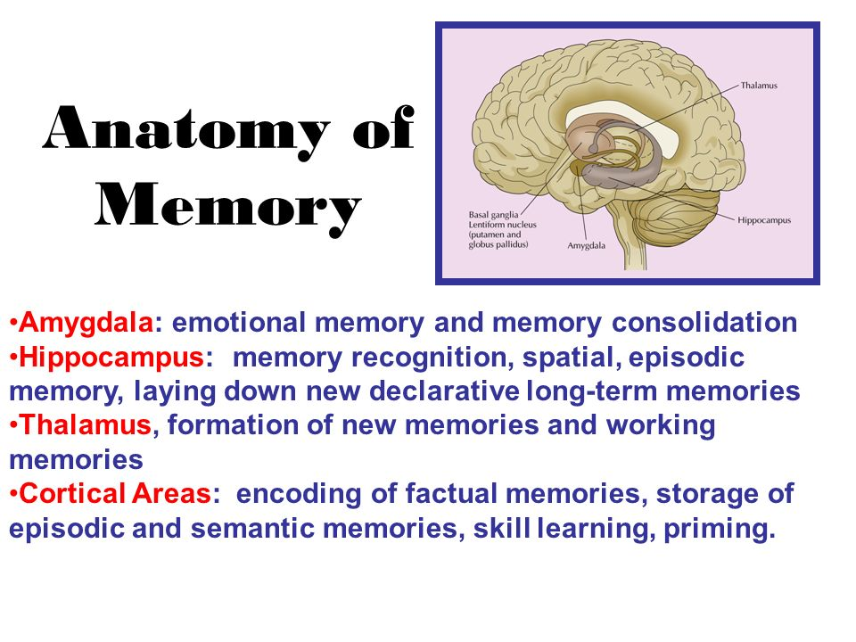 Awesome The Anatomy Of Memory Festooning - Anatomy And Physiology ...