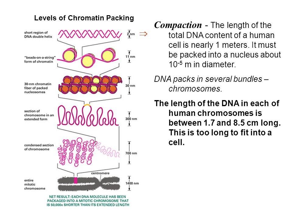 The Central Dogma DNARNAProtein DNA replication ...