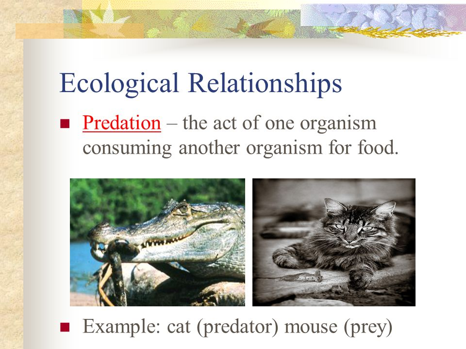 Ecological Relationships Predation – the act of one organism consuming another organism for food.