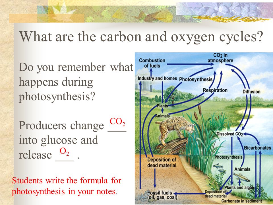 What are the carbon and oxygen cycles. Do you remember what happens during photosynthesis.