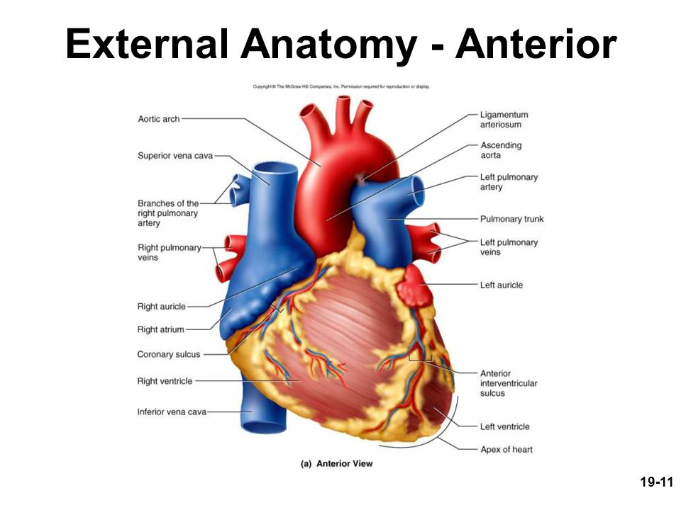 19 1 circulatory system the heart circulatory system the heart 11 19 11 external anatomy anterior ccuart Gallery