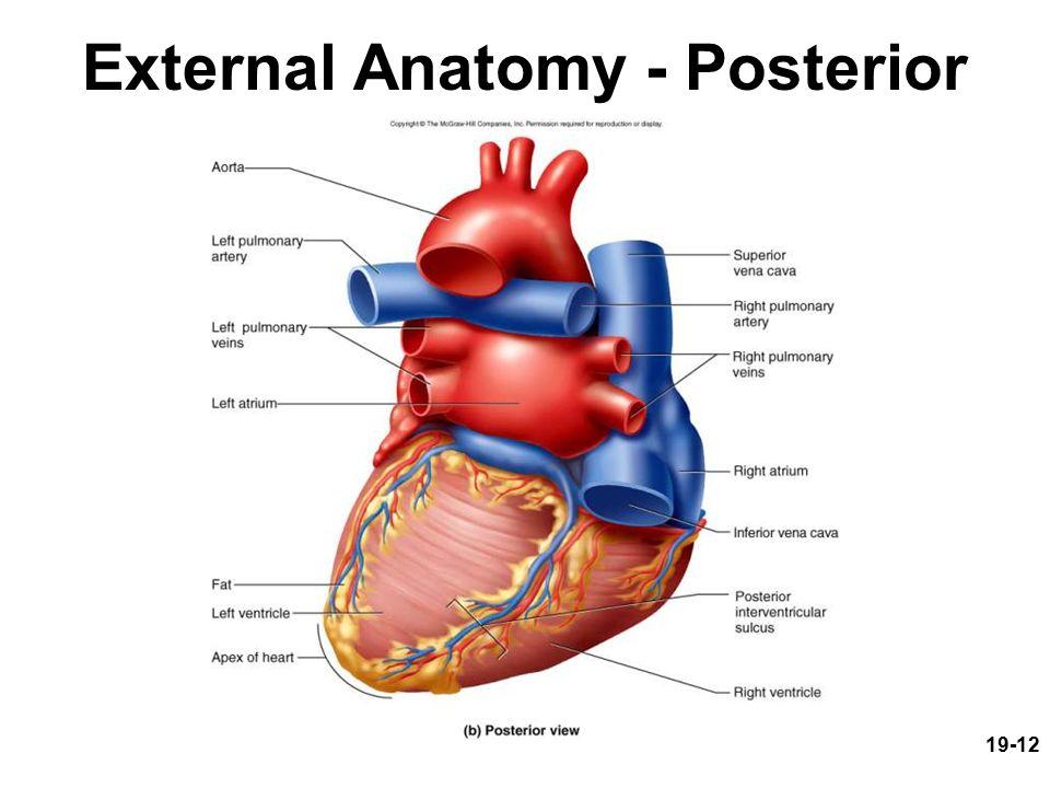 Detailed Heart Diagram Images Human Internal Organs Diagram