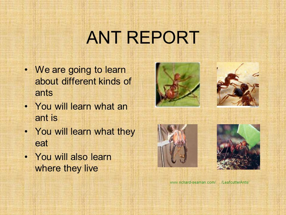 1 ANT. ANT REPORT We are going to learn about different kinds of ants You