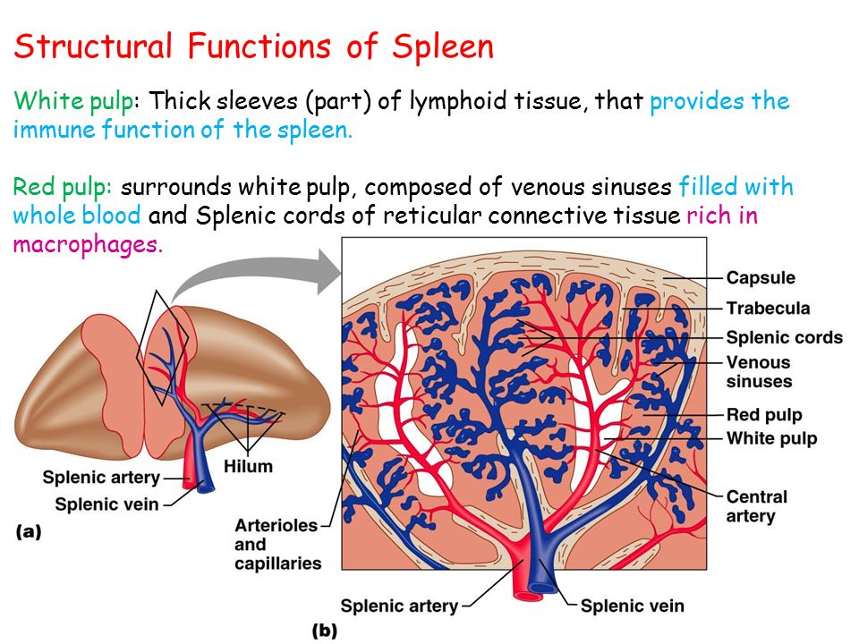 Is A Part Of The Immune System And Plays An Important Role In