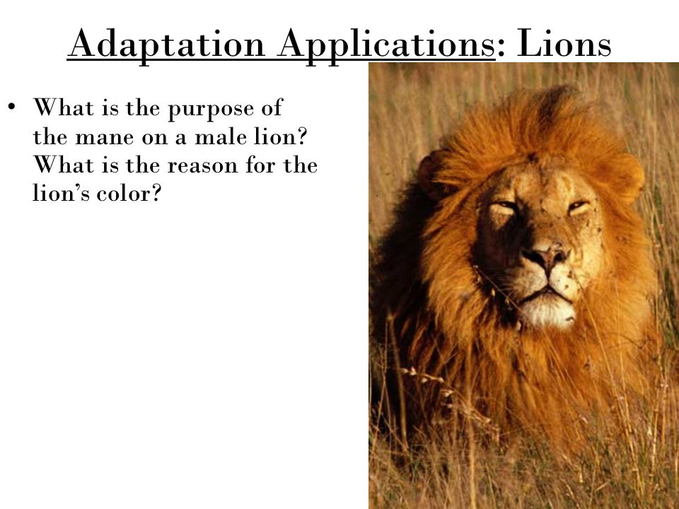 """purpose of the lions mane Lion's mane mushroom – unparalleled benefits for lion's mane is it is said that lion's mane gives you """"nerves of steel and the memory of a lion."""