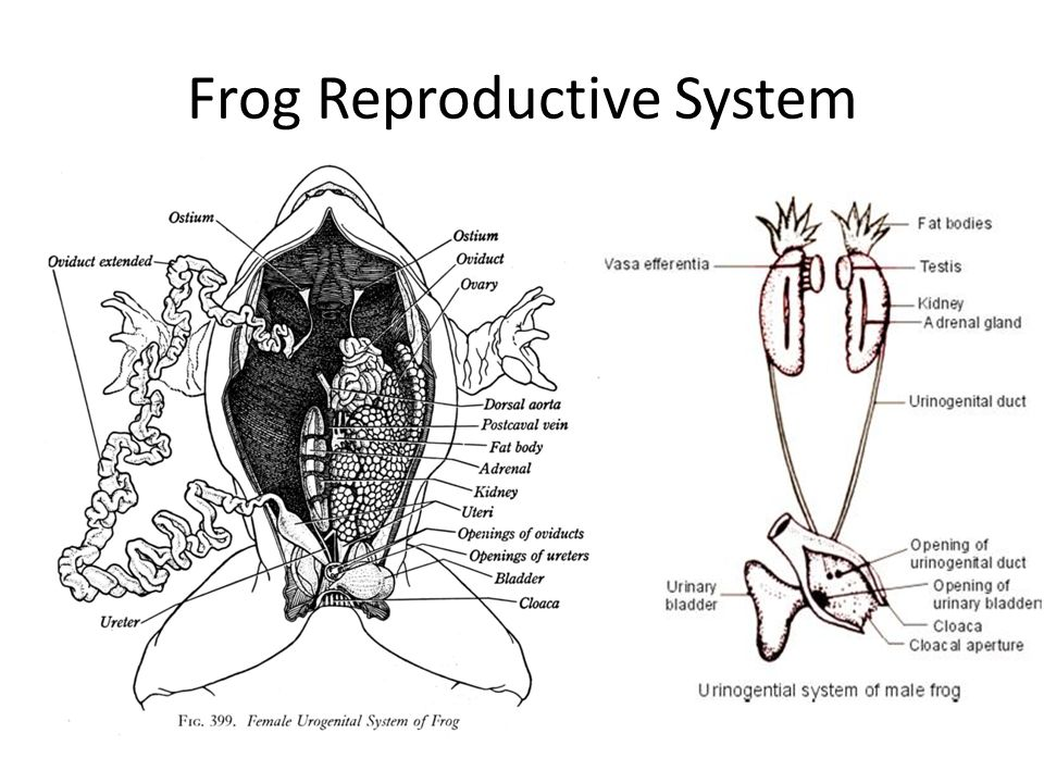 Frog body parts and functions ppt video online download 27 frog reproductive system ccuart Images