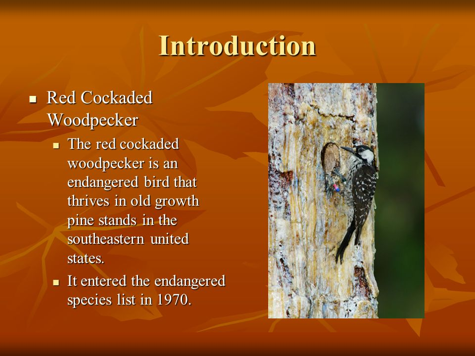 3 Introduction Red Cockaded Woodpecker Original by