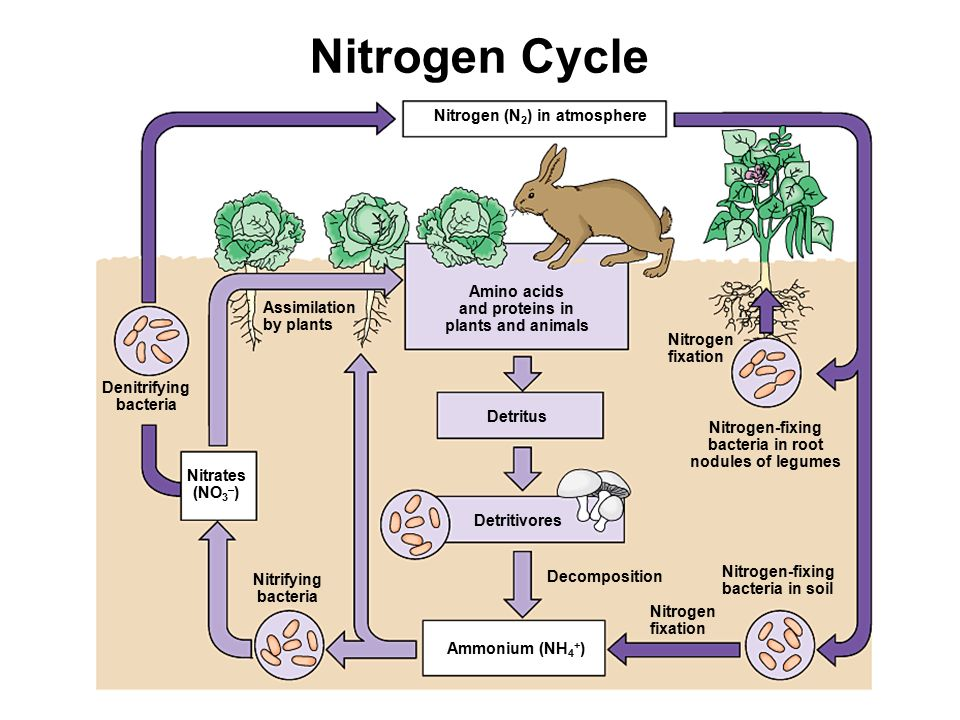 Nitrogen (N 2 ) in atmosphere Amino acids and proteins in plants and animals Assimilation by plants Denitrifying bacteria Nitrates (NO 3 – ) Nitrifying bacteria Detritus Detritivores Decomposition Ammonium (NH 4 + ) Nitrogen fixation Nitrogen-fixing bacteria in soil Nitrogen-fixing bacteria in root nodules of legumes Nitrogen fixation Nitrogen Cycle