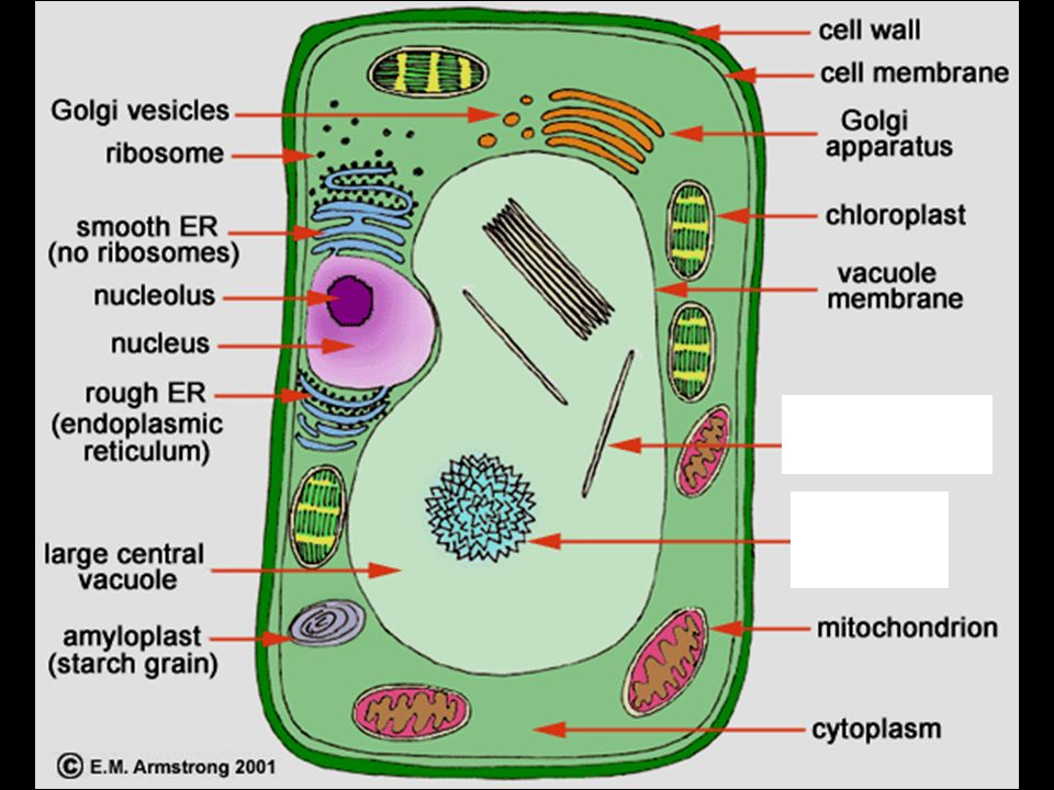 What are cells made up of cells are made of cell organelles ppt 32 cell wall found only in plant cells the cell wall is relatively rigid provides support and shape for the cell ccuart Images