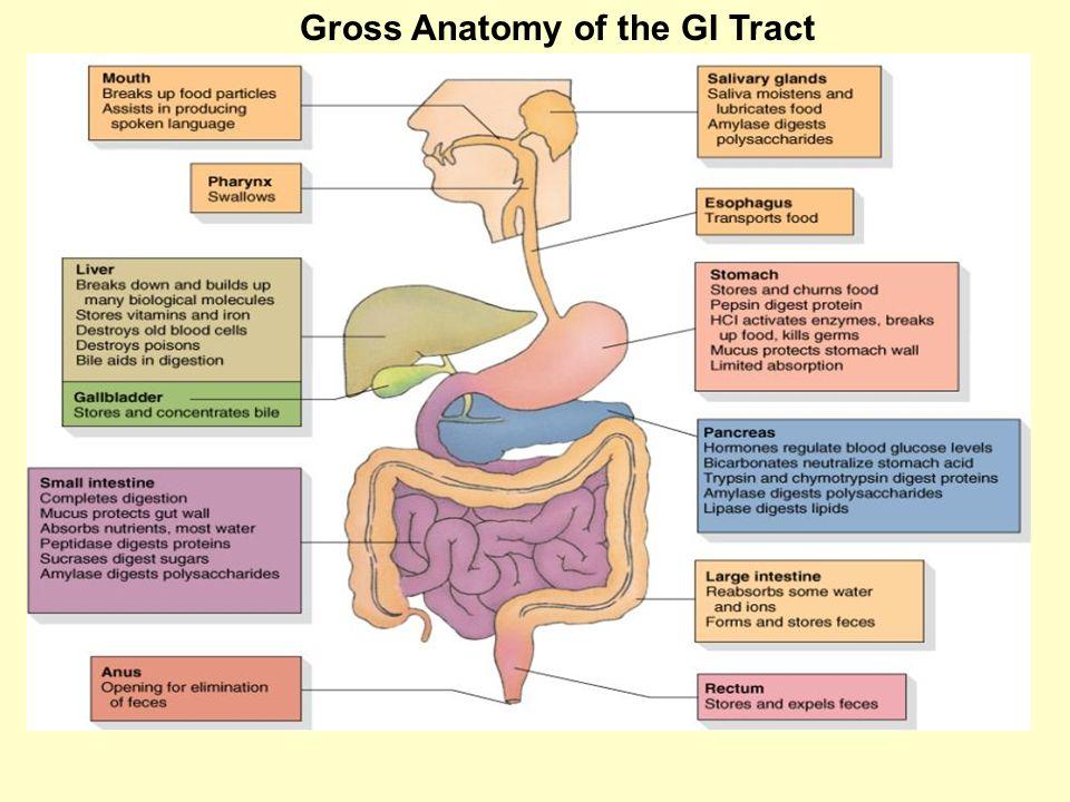 Biol 204 Lab 11 Digestive System Anatomy Gross Anatomy Of The Gi