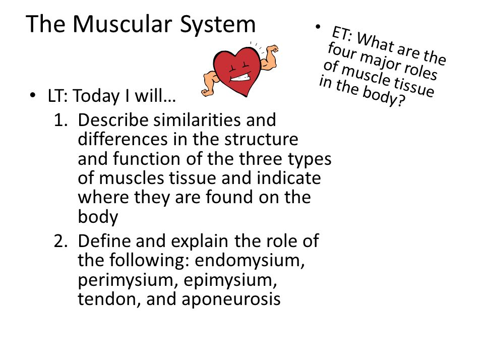 the muscular system learn the basic anatomy of a muscle fiber, Muscles