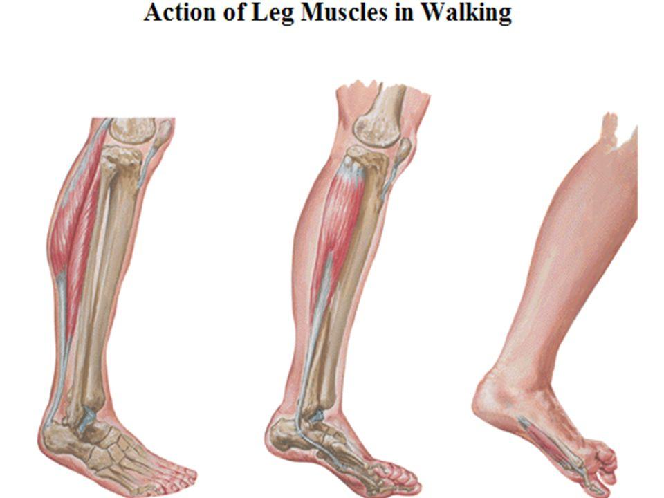 Lower Limb Lower Limb Quadriceps Femoris Rectus Femoris