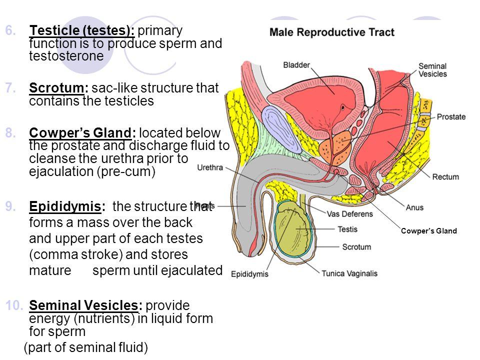 Human sperm production