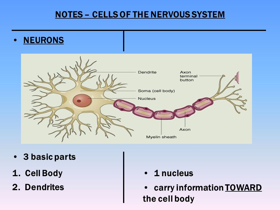 the nervous system notes This article will describe the details of the nervous system, types and also the clinical impact of its dysfunction learn this topic now at kenhub.