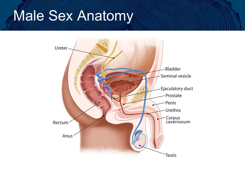 Human intercourse anatomy 675403 - follow4more.info
