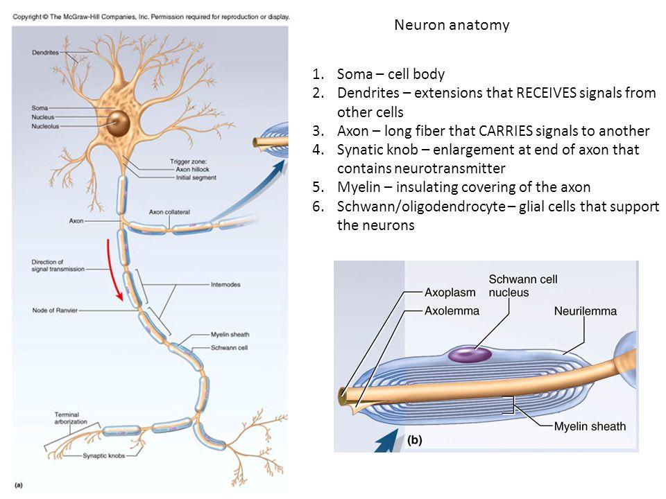 Fancy Neuron Anatomy Illustration - Anatomy And Physiology Biology ...