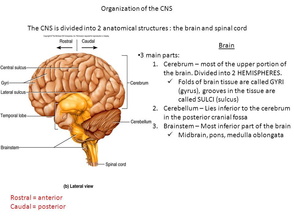 Beautiful Anatomy Of Cns Pattern - Human Anatomy Images ...