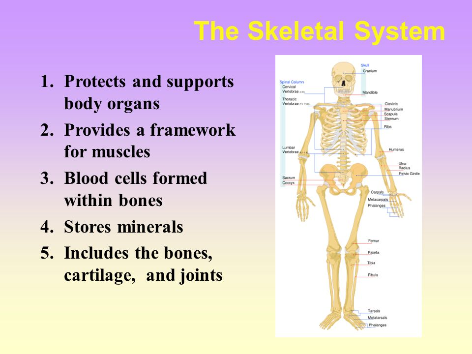 Section 1.4 Body Systems Objectives: 1.List the organ systems of ...