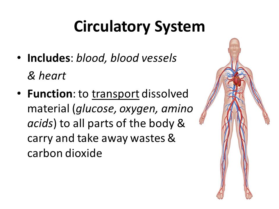 aim: how does the human circulatory system function to maintain, Human Body