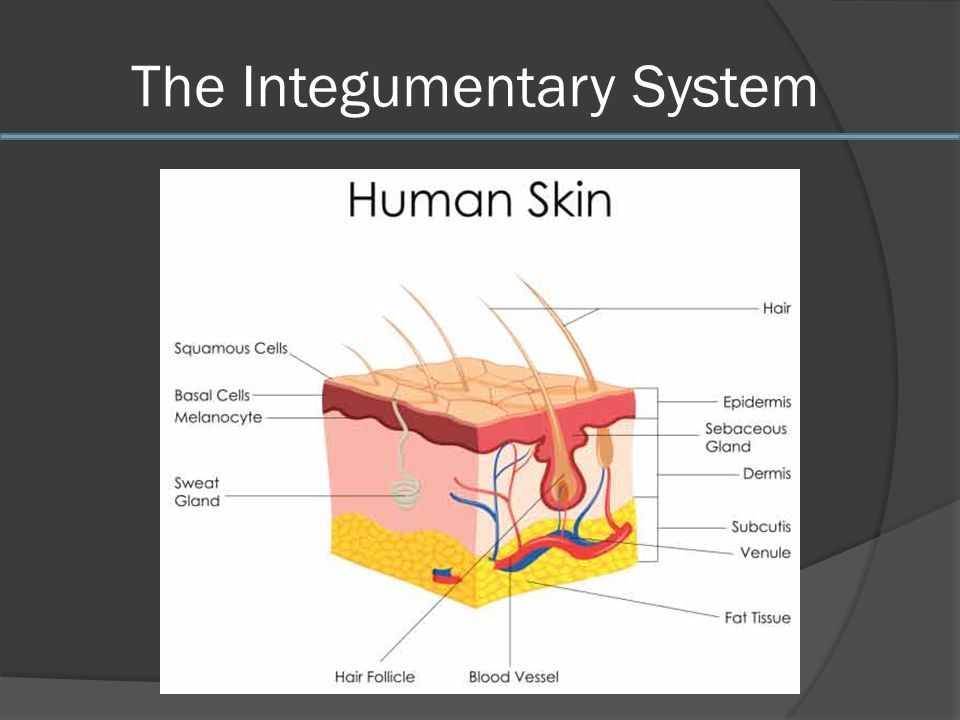 Old Fashioned Integumentary System Animation Photos - Anatomy And ...