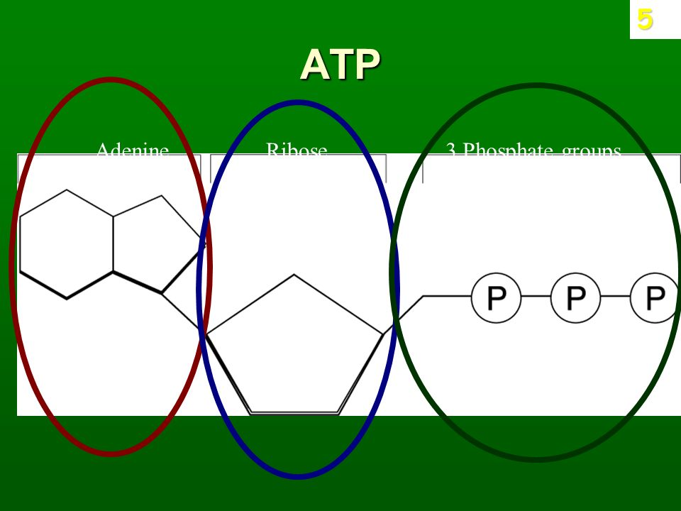 ADP, ATP and Cellular Respiration Review What does ATP stand for ...
