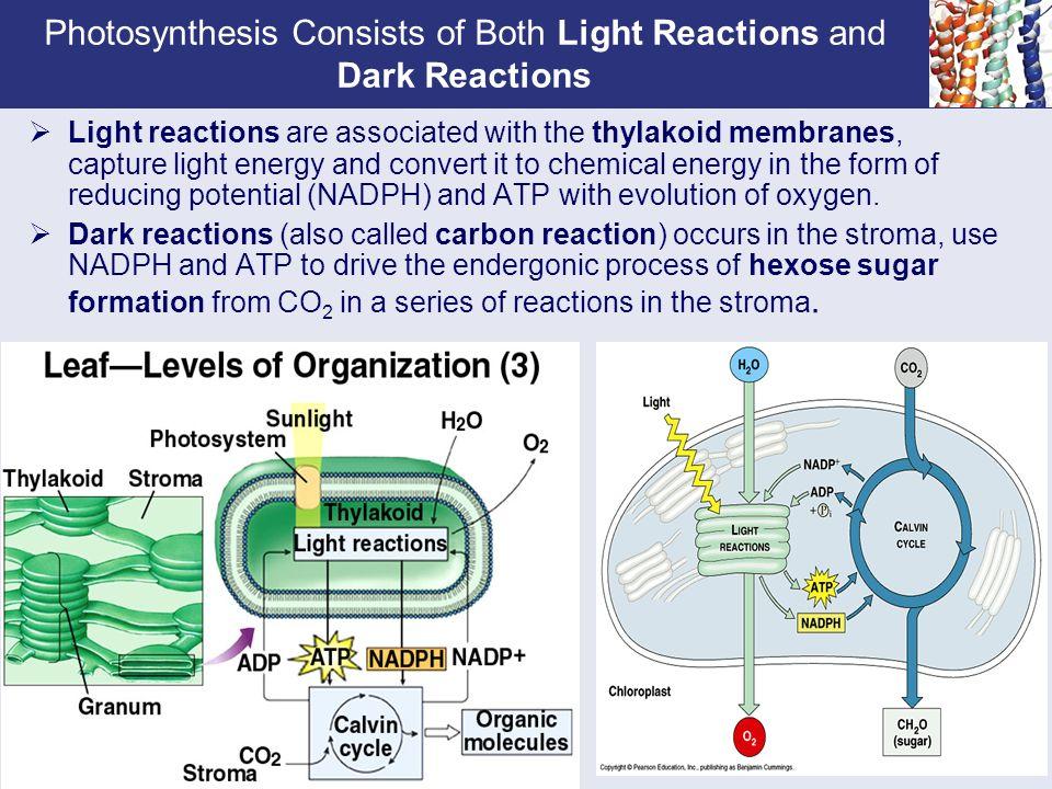 photosythesis dark reaction