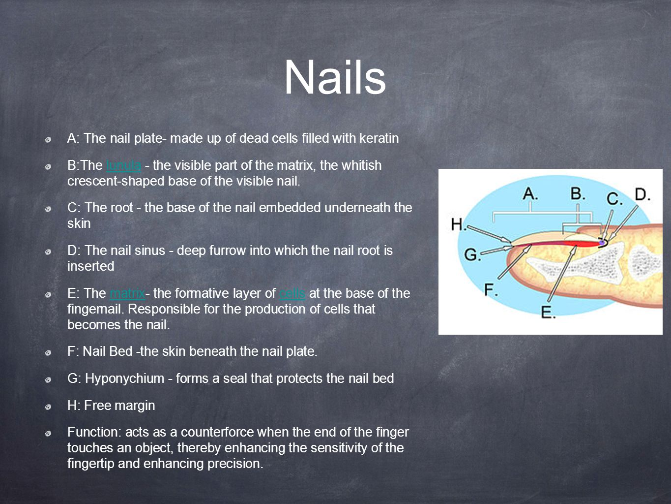 Epithelial (Skin, hair, teeth, and nails). Epithelial Tissue Covers ...