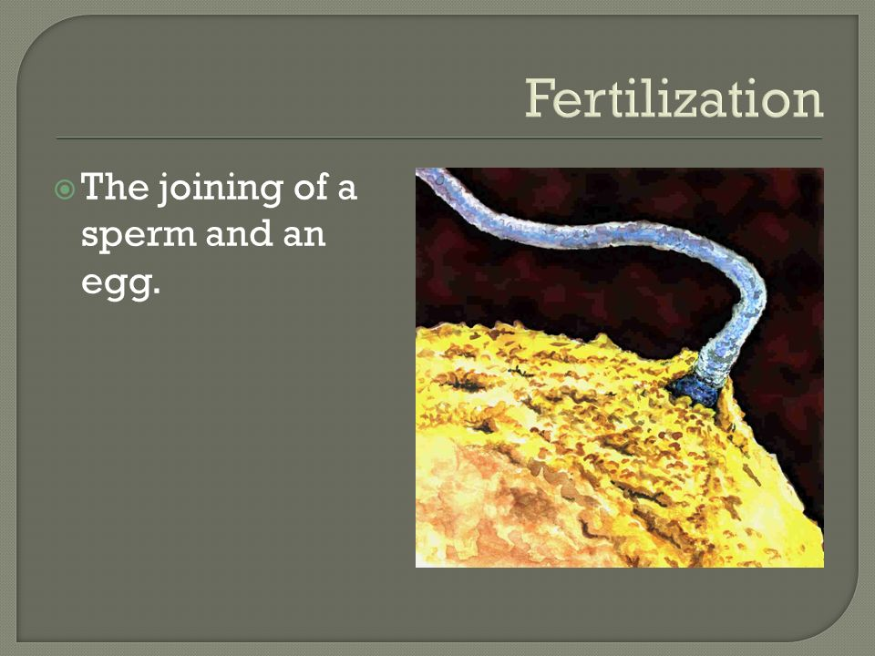 Fertilization  The joining of a sperm and an egg.