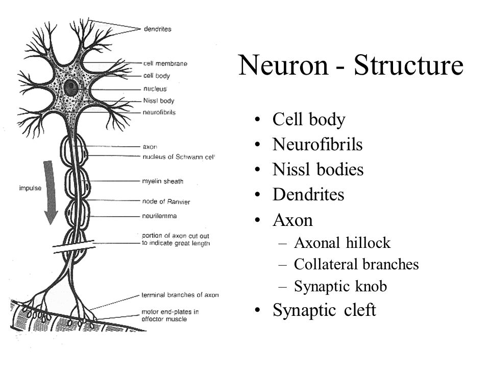 The nervous system general structure of the nervous system neurons 5 neuron structure cell body neurofibrils nissl bodies dendrites axon axonal hillock collateral branches synaptic knob synaptic cleft ccuart Image collections