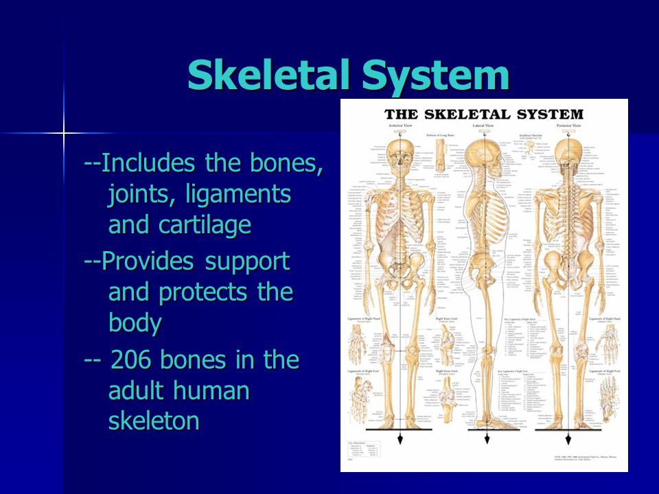 exploring the skeletal system essay The musculoskeletal system (also known as the locomotor system) is an organ system that gives animals (including humans) the ability to move, using the muscular and skeletal systems.
