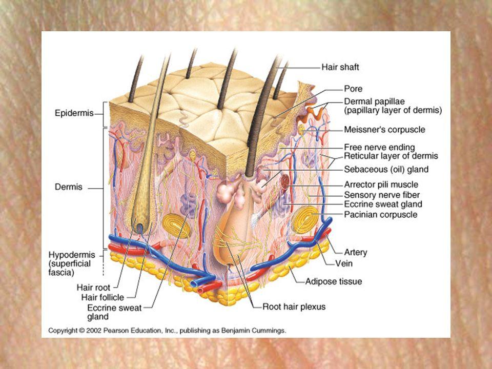 Layers of the skin anatomy