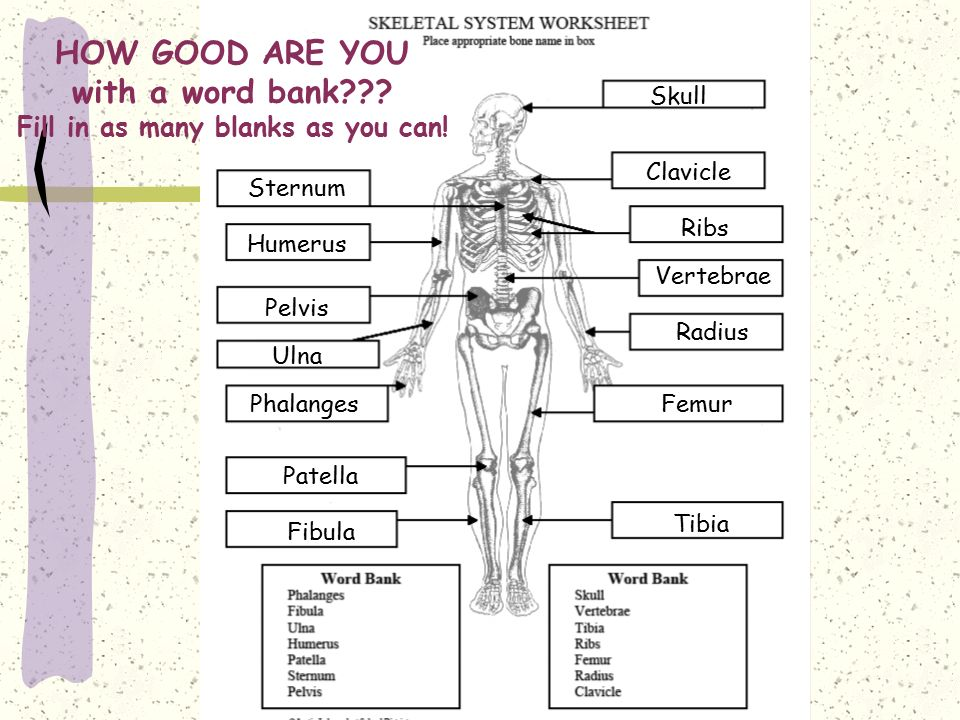 Skeletal System Worksheet Answers Free Worksheets Library – Chapter 5 Skeletal System Worksheet Answers