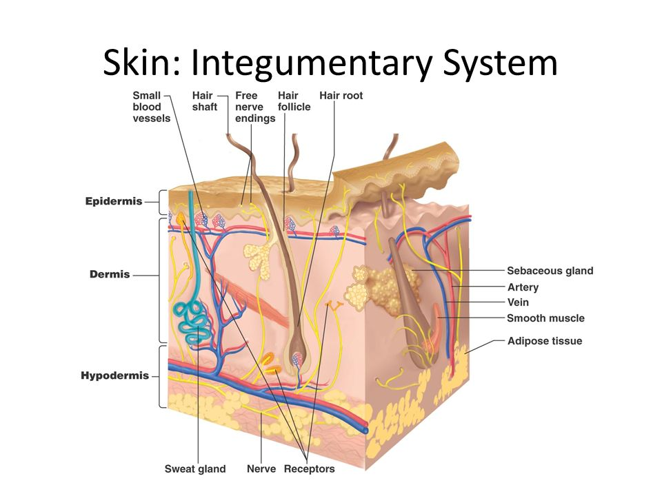 the integumentary system ch. 5. objectives identify various parts, Human Body