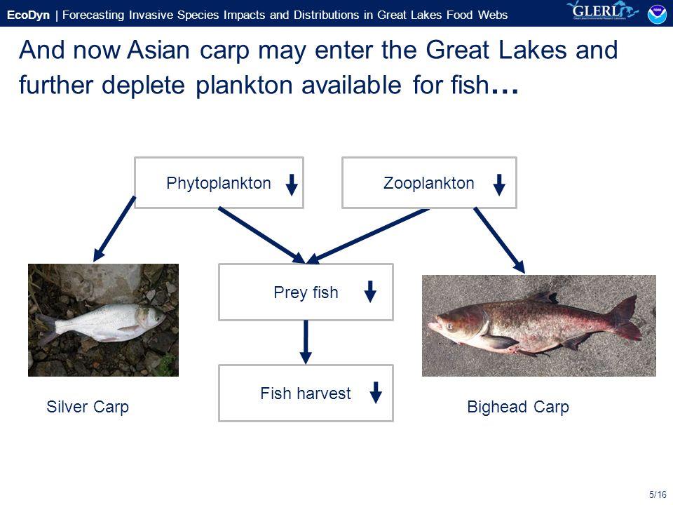Show an asian carp food web
