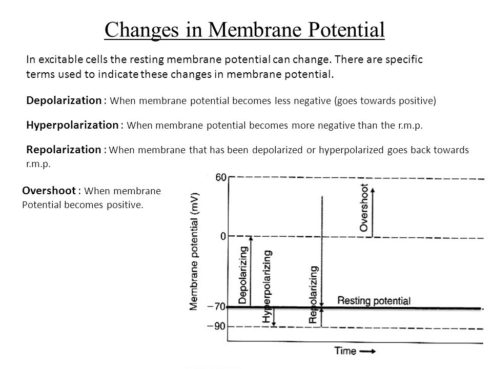 Changes In Membrane Potential In Excitable Cells The Resting Membrane  Potential Can Change.