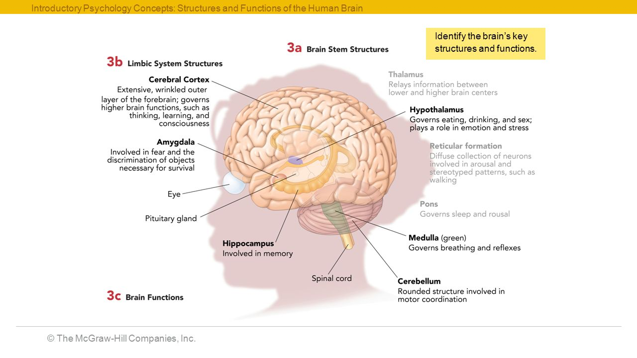 psychology brain and vital body functions Mind, brain, body, and behavior our forebears laid the vital groundwork needed to make progress set up to study basic mechanisms of brain function.
