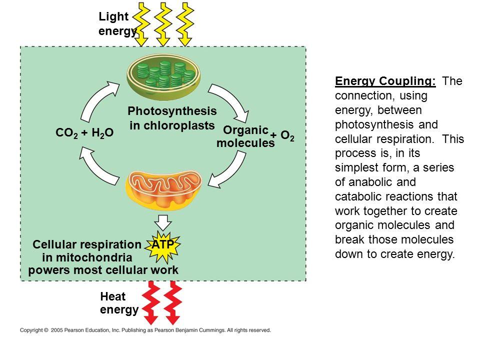 ap ib biology cell respiration