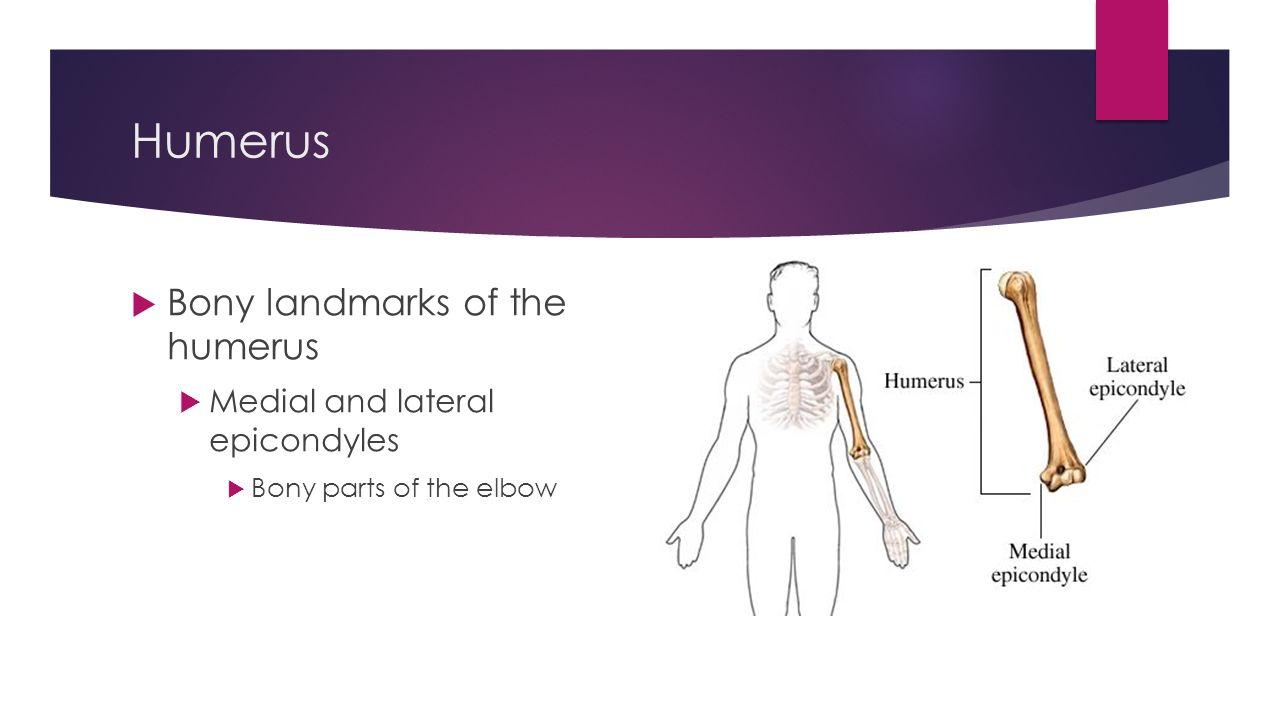 Medial elbow anatomy