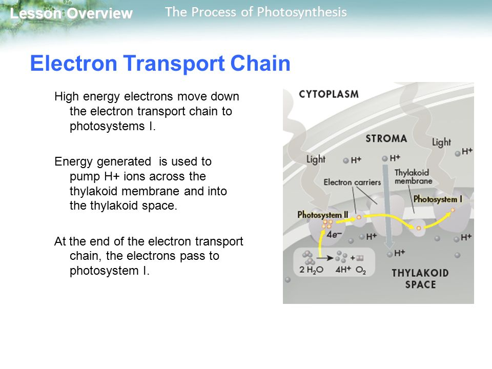 What transports high energy electrons in photosynthesis apa term paper table of contents